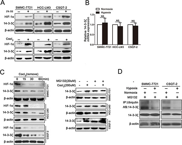Hypoxia induces elevated expression of 14-3-3ζ in HCC cells.
