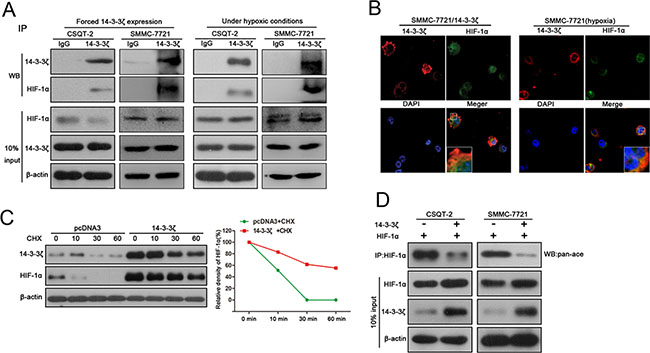 14-3-3ζ interacts with HIF-1α and enhances HIF-1α protein stability by recruiting HDAC4.