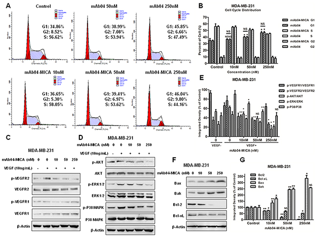 mAb04-MICA induced the G0/1 phase arrest in MDA-MB-231 cells, inhibited VEGFR2 pathway and modulated the Bcl-2 family protein.