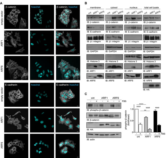 ARF1 is important for the maintenance of adherent junctions.