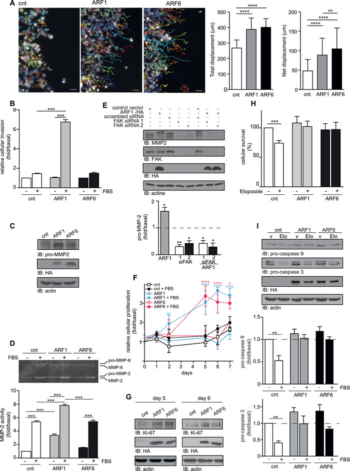 Overexpression of ARF controls motility, invasion, proliferation, and survival of MCF7 cells.