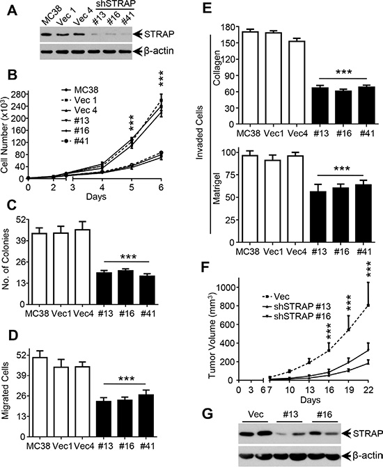 Role of STRAP on migration, invasion and tumorigenicity in CRC cell lines.