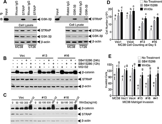 Role of GSK-3β inhibitors, proteasomal inhibitor and Wnt3a on STRAP-induced stabilization of β-catenin.