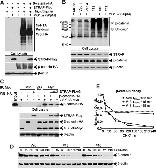 Effect of STRAP on ubiquitin-dependent degradation of β-catenin.