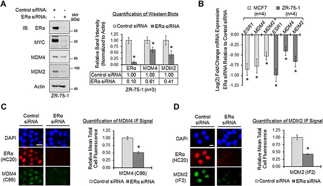 Loss of ERα downregulates MDM4 and MDM2 in breast cancer cells.