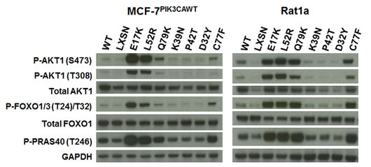 Non-hotspot AKT1 PH domain mutants L52R, C77F, and Q79K increase Akt1 activation and downstream signaling.