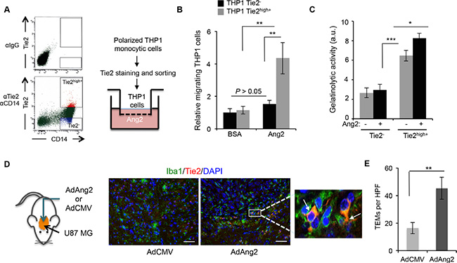 Ang2 is an attractant signal for TEMs in vitro and in vivo.