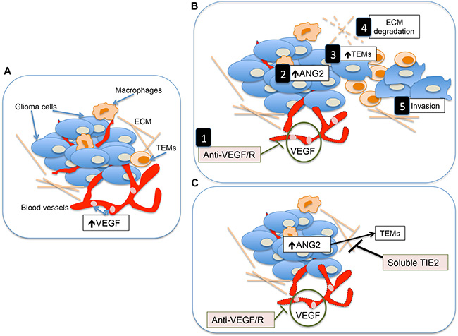 Proposed model describing the mechanisms underlying the heightened invasion of gliomas after anti-VEGF/R therapy and the role of soluble Tie2 in contrarresting this effect.
