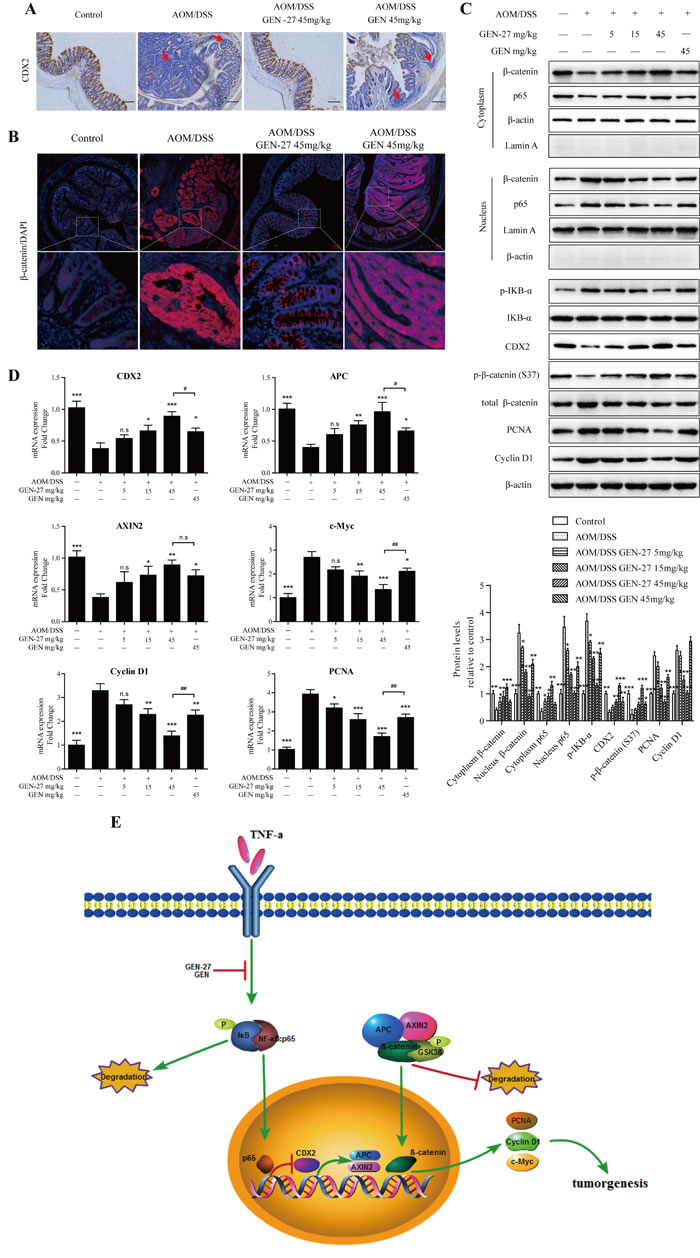 GEN-27 inhibits the Wnt/β-catenin pathway in a AOM/DSS induced colorectal cancer model.