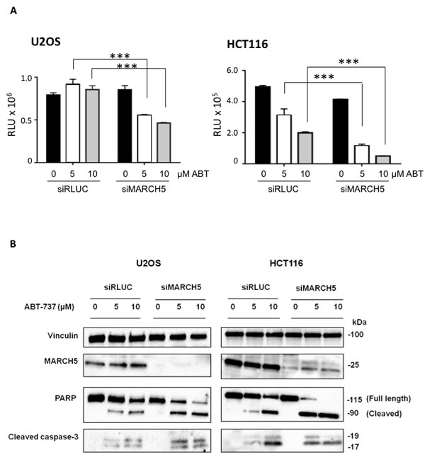 MARCH5 depletion sensitizes cell lines to BH3-mimetic induced apoptosis