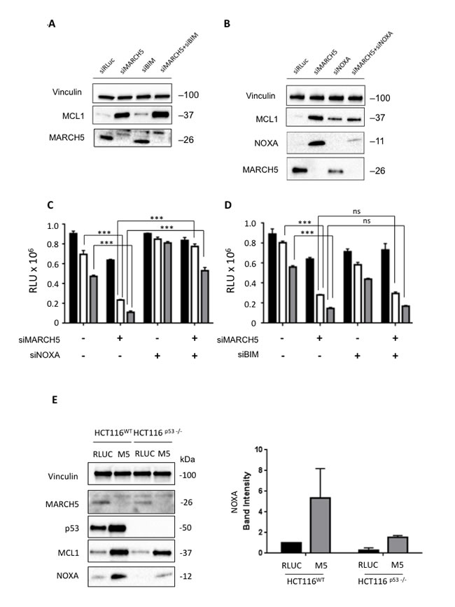 Sensitization to apoptosis and MCL1 stabilization upon MARCH5 loss are NOXA-dependent