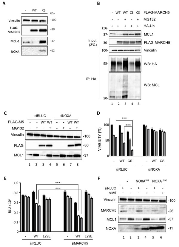A MARCH5 RING domain mutant stabilizes MCL1 and NOXA, and sensitizes cells to ABT-737