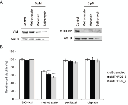 MTHFD2 knockdown sensitizes breast cancer cells to methotrexate.