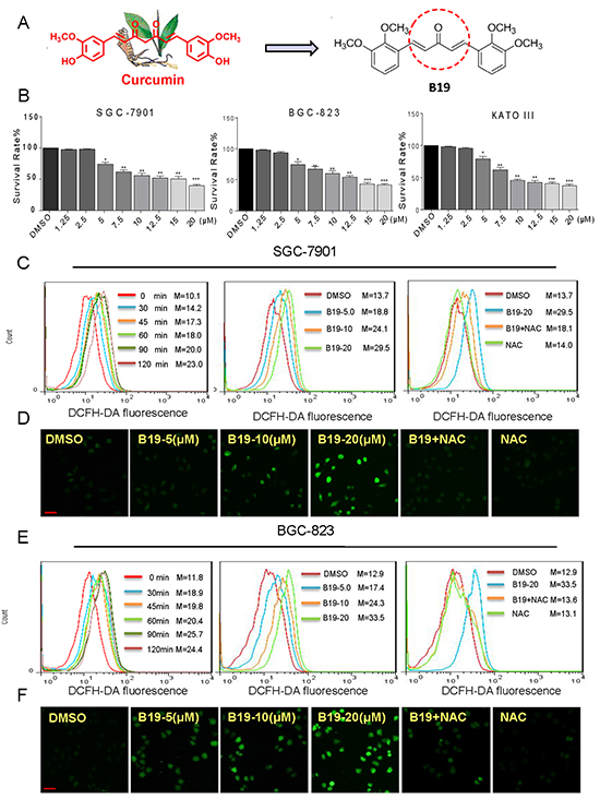 B19 inhibits cells growth and induces accumulation of Intracellular ROS in human gastric cancer cells.