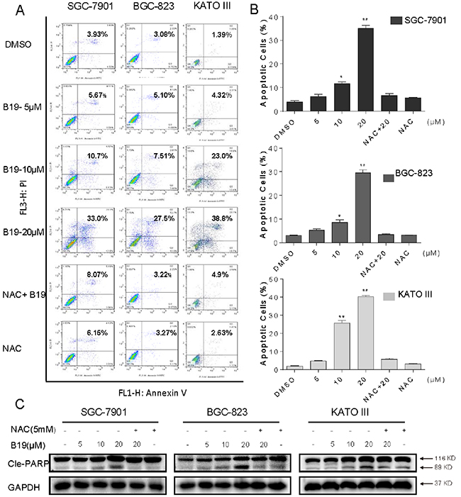 B19 induces ROS-dependent apoptosis in human gastric cancer cells.
