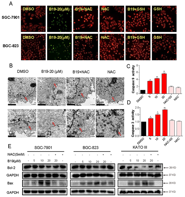 B19 reduces mitochondrial membrane potential (Δψm) and induces mitochondrial dysfunction via promoting the accumulation of ROS.