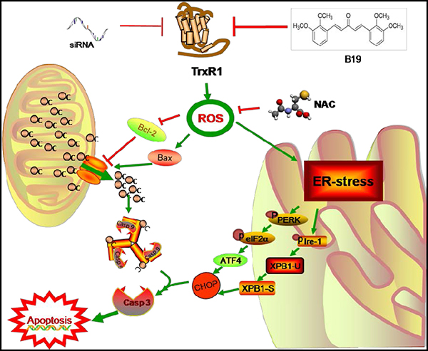 Schematic illustration of the underlying mechanism of B19's anti-cancer activity.