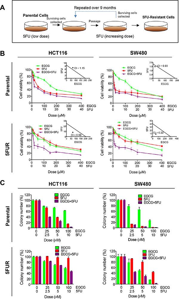 EGCG enhances 5FU sensitivity in 5FU resistant colorectal cancer cells.