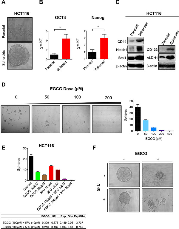 EGCG attenuates spheroid derived cancer stem cell formation in colorectal cancer cells.