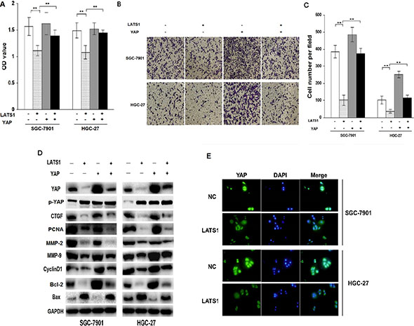 YAP signaling is required for LATS1-induced inhibition of cell growth and invasion.