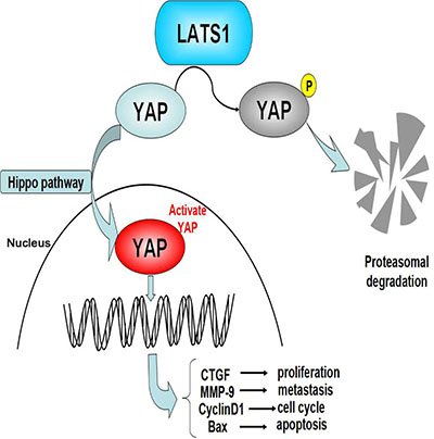 Loss of LATS1 might promote the tumorigenesis of GC via upregulation of the YAP signaling.