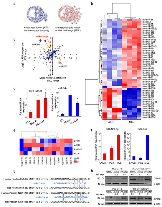 miR-129-3p is overexpressed in metastatic PCa.