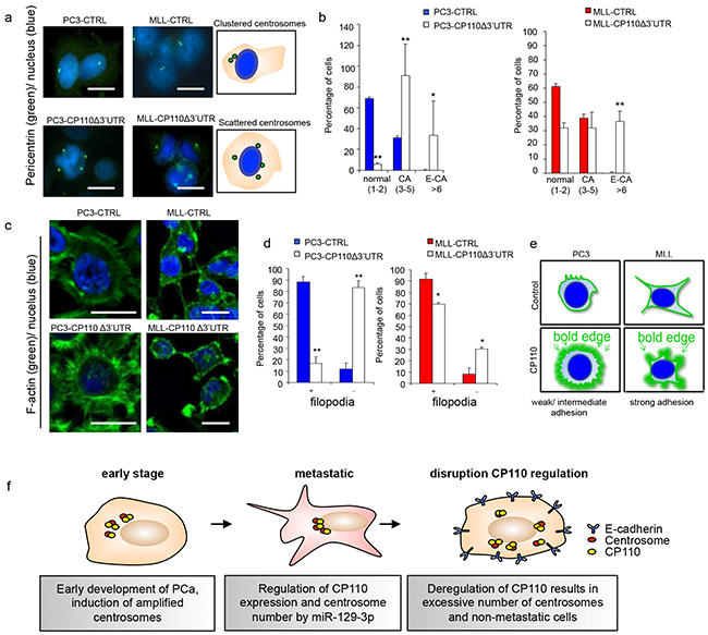 CP110 regulates PCa invasion via centrosomes.