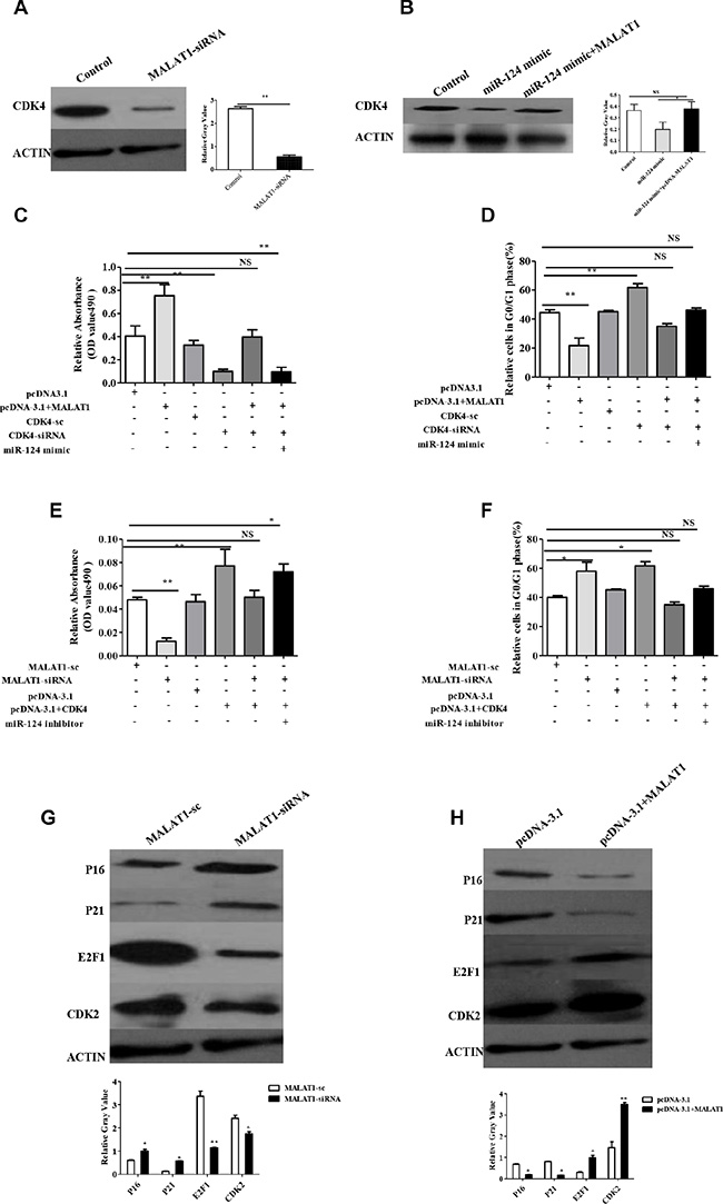 MALAT1 regulates the expression of CDK4, target of miR-124, also through CDK4/E2F1 signaling pathway in breast cancer.