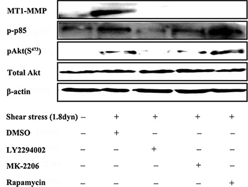 LSS induced MT1-MMP expression through the PI3K/Akt/mTOR pathway.
