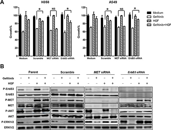 Specific down-regulation of MET, but not ErbB3, restored gefitinib sensitivity by inhibiting HGF induced-phosphorylation of Akt and ERK1/2.