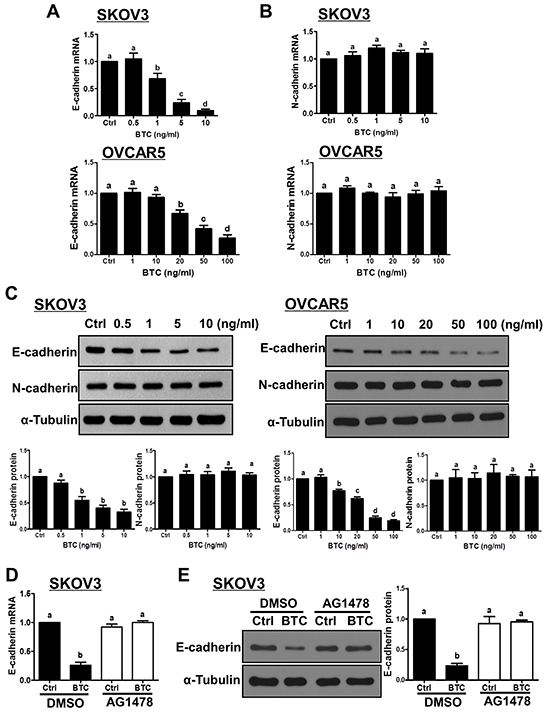 Betacellulin down-regulates E-cadherin, but not N-cadherin, via EGFR in ovarian cancer cells.