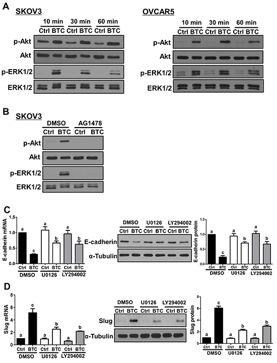 MEK-ERK and PI3K-Akt signaling contribute to the effects of betacellulin on E-cadherin and Slug.