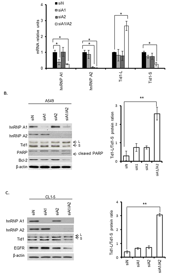 Effects of hnRNP A1 and/or A2 depletion on the expression levels of Tid1 isoforms.