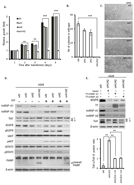 Effects of hnRNP A1 and A2 depletion on cell proliferation, anchorage-independent growth, apoptosis, and EGFR signaling.