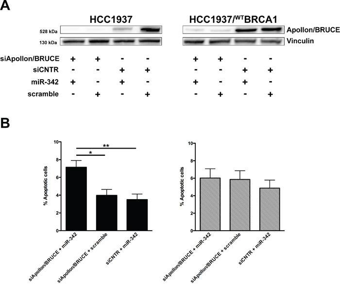 Apollon/BRUCE silencing contributes to miR-342-mediated induction of apoptosis in BRCA1-mutant HCC1937 cells.