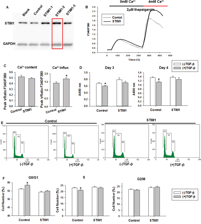 The effects of STIM1 overexpression on TGF-β-induced cell proliferation and cell cycle.