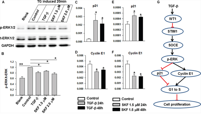 The effects of TGF-β and SKF96365 treatment in ERK and cell cycle-related signaling.