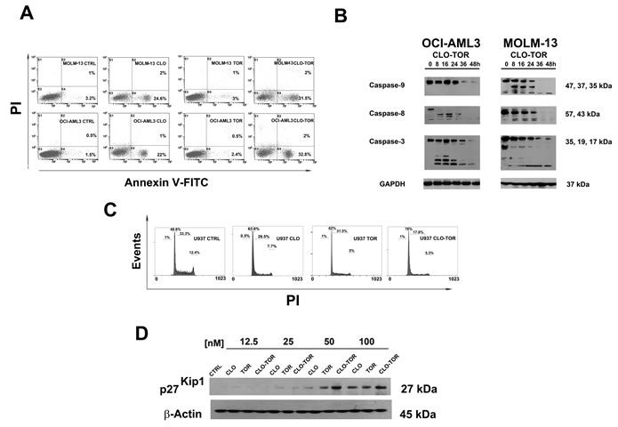 CLO-TOR induces apoptosis and cell cycle arrest in the G