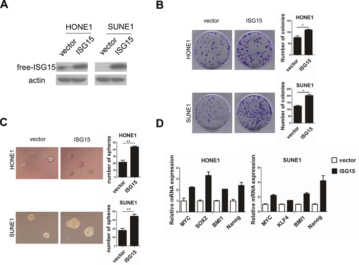 Overexpression of ISG15 promoted cancer stem cells-like property in NPC cells in vitro.