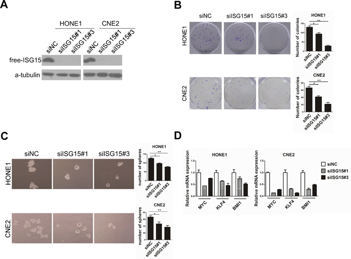 Knockdown of ISG15 attenuated cancer stem cells-like property in NPC cells in vitro.