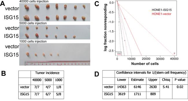 Overexpression of ISG15 increased the tumorigenicity in vivo.