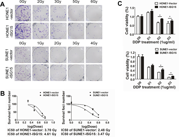 Overexpression of ISG15 enhanced NPC cell resistance to radiation and DDP treatment.
