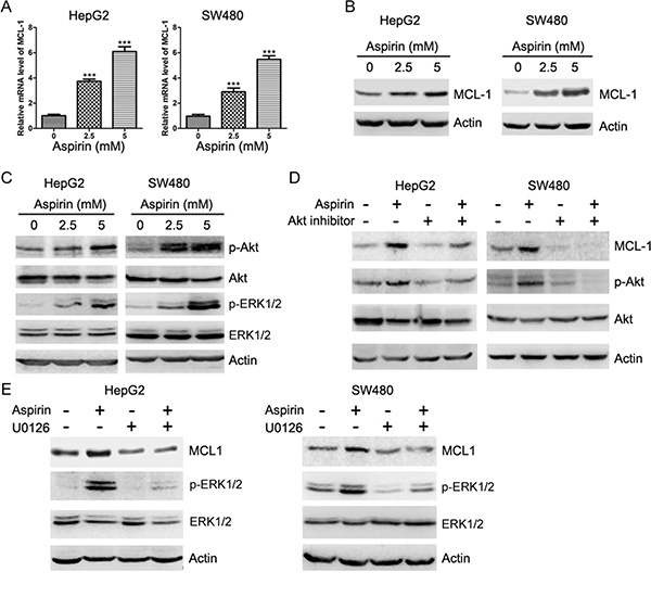Aspirin induces Akt and ERK1/2 phosphorylation and up-regulates MCL-1 expression.
