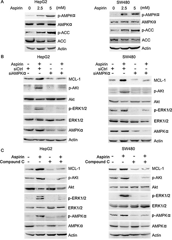 Aspirin activates AMPK, leading to Akt and ERK1/2 phosphorylation.