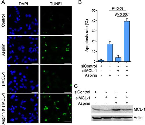 MCL-1 knockdown potentiates aspirin-induced apoptosis.