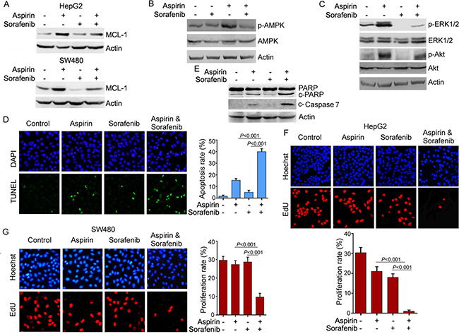 Sorafenib inhibits the induction of MCL-1 expression by aspirin and potentiates the anti-cancer activity of aspirin.