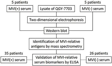 Schema of screening and validation of serum biomarkers for MVI.