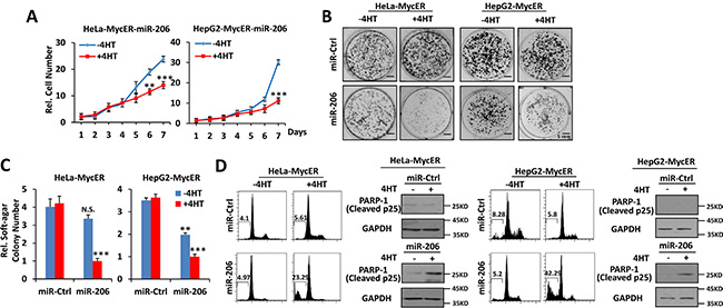 Overexpression of miR-206 is synthetically lethal with Myc overexpression.