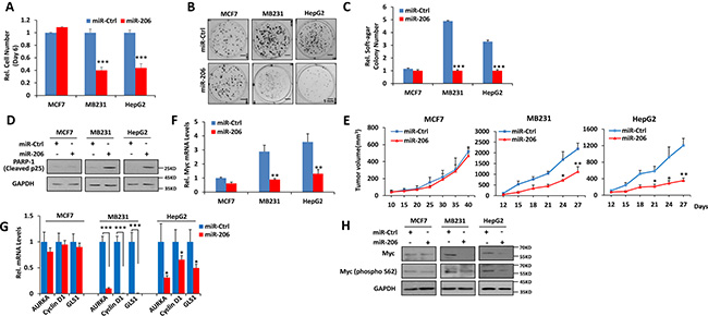 miR-206 impairs growth, clonogenicity and tumorigenicity of cancer cells expressing high levels of Myc.