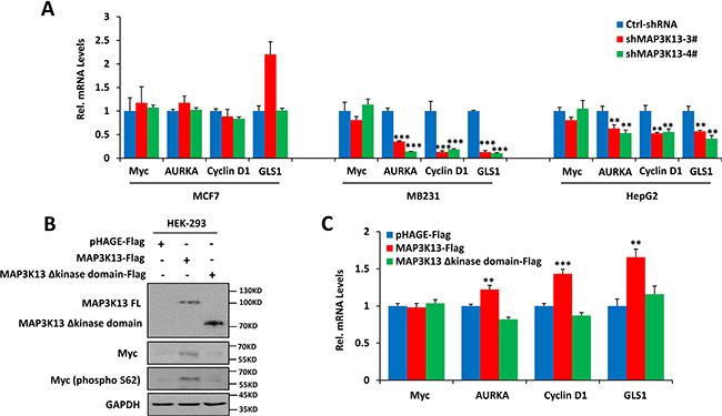 MAP3K13 affects Myc protein stability.